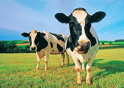 Two-cows-6